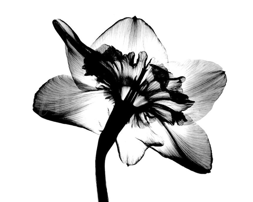 Xray Daffodil blossom