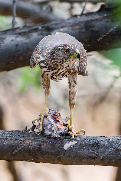 An immature male Cooper's Hawk (Accipiter cooperii) feeds on his prey, a Mourning Dove (Zenaida macroura), in a mesquite tree in the Sonoran Desert (Arizona)