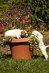 Jack Russel puppies with geranium