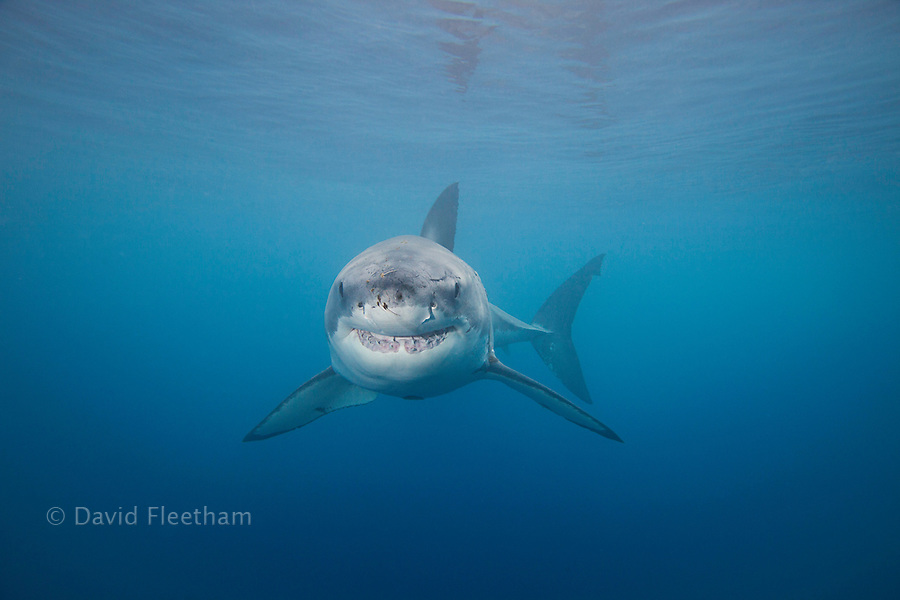 This Great White Shark, Carcharodon carcharias, was photographed just below the surface off Guadalupe Island, Mexico.