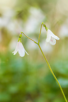 Twin flower blossoms grow in the boreal forest, Fairbanks, Alaska.