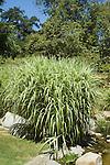MISCANTHUS SINENSIS 'VARIEGATUS', VARIEGATED MAIDEN GRASS