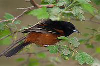 Male Orchard Oriole (Icterus spurius),  Great Lakes region, Spring.