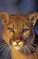 Cougar/Mountain Lion/Puma (Felis concolor).  Autumn, Rocky Mountains, North America.