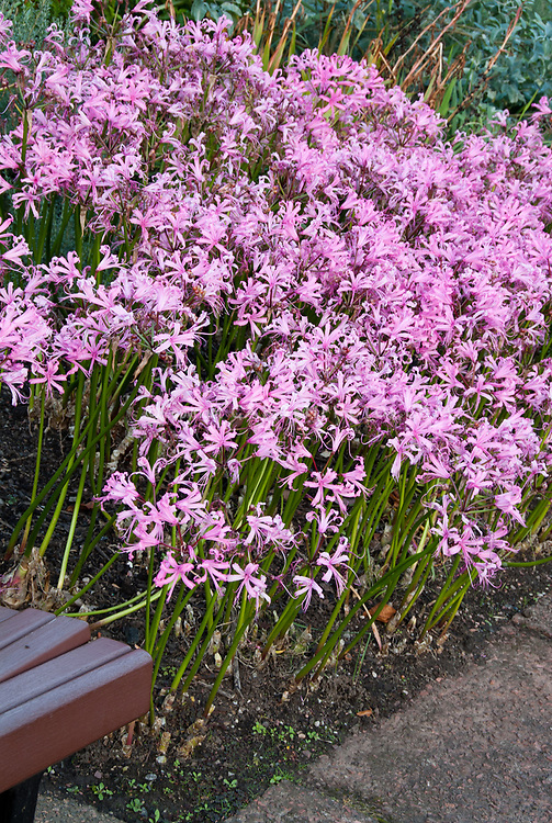 Nerine bowdenii in flower in autumn bulbs fall