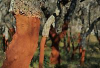 Cork Oak (Querus suber) Aggius, Sardinia, Italy