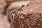 A male Sinai Agama, Pseudotrapelus sinaitus, basking on a rock in the Petra Archeological Park , a UNESCO World Heritage Site in the Hashemite Kingdom of Jordan.
