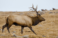 Bull Elk, Trail Ridge Road, Rocky Mountain National Park, Colorado