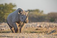 A Black Rhino at Goas in Etosha, Namibia