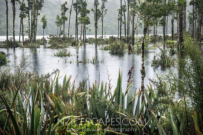 Kahikatea trees in flooded Lake Wahapo at rain with Tui bird, Westland National Park, West Coast, World Heritage Area, South Island, New Zealand