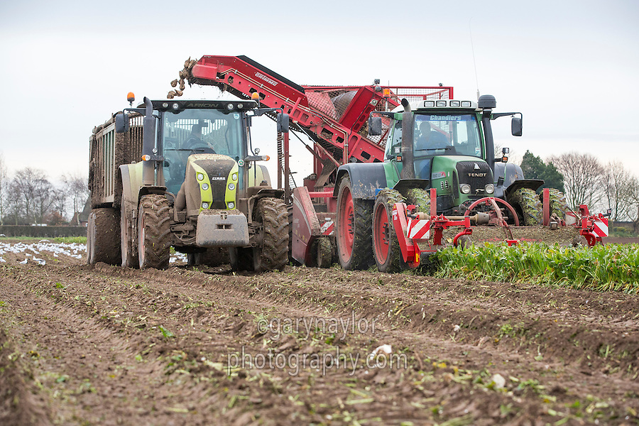 Harvesting sugar beet with a trailed Grimme harvester - Lincolnshire, December
