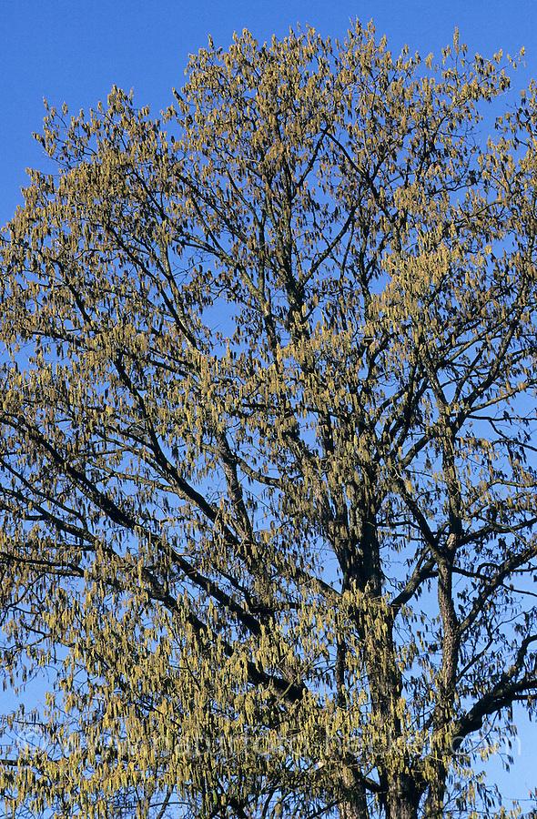 Baumhasel, Baum-Hasel, blühend, Corylus colurna, Turkish Hazel