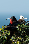 Adult and juvenile Magnificent Frigatebirds (Fregata magnificens) perched on tree branch. Pacheca Island, Las Perlas Archipelago, Panama province,  Panama, Central America.