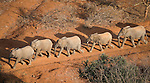 .Aerial of orphaned elephants on a walk-about in Tsavo National Park, Kenya