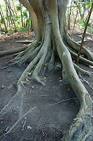 Tree roots, San Miguelito archaeological site adjacent to the new Museo Maya de Cancun museum, Cancun, Mexico      .