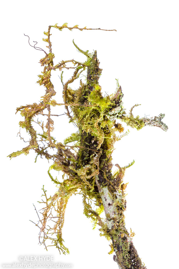Moss Mimic Stick Insect (Trychopeplus laciniatus) showing amazing camoflage on mossy vine. Photographed in tropical rainforest in mobile field studio against a white background. Cordillera de Talamanca mountain range, Caribbean Slopes, Costa Rica. May.
