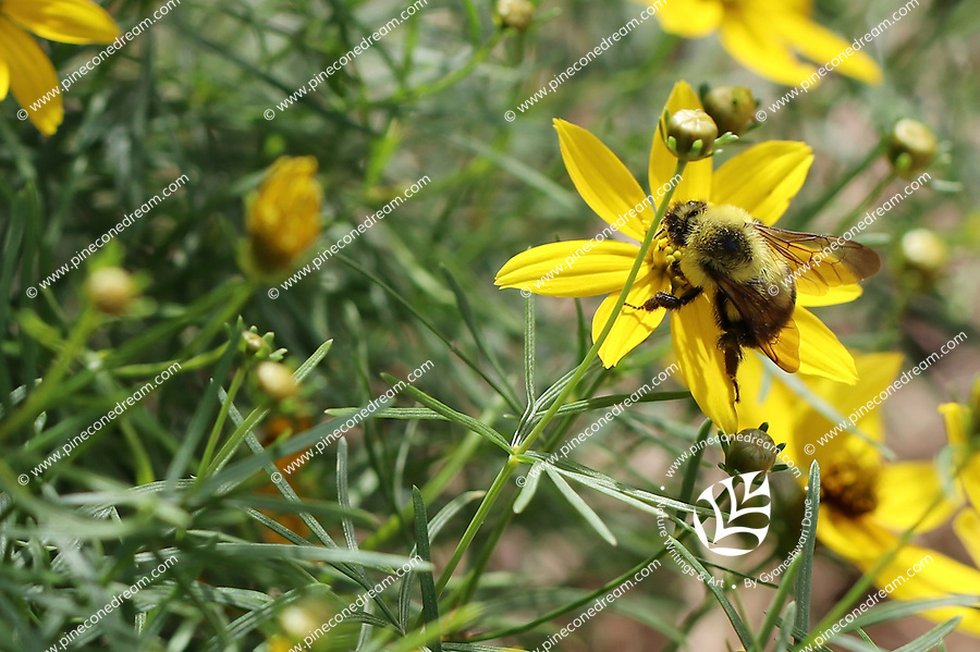 Yellow wild flower with a bumble bee sitting on the center of it- Free nature stock image.