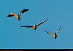 Snow Goose, Flight Study at Sunrise, Bosque del Apache Wildlife Refuge, New Mexico