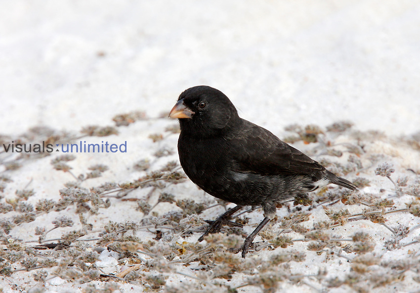 Small Ground Finch male on beach (Geospiza fuliginosa), Galapagos Islands