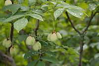 Gewöhnliche Pimpernuss, Pimpernuss, Pimpernuß, Pimper-Nuss, Pimper-Nuß, Staphylea pinnata, Staphylaea pinnata, European Bladdernut, Faux-pistachier, Staphilier