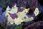 Antennartius maculatus, Warty frogfish, juvenile, Lembeh, Indonesia