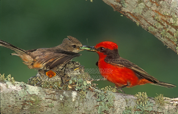 Vermillion Flycatcher, Pyrocephalus rubinus,male feeding young in nest female is watching, Lake Corpus Christi, Texas, USA