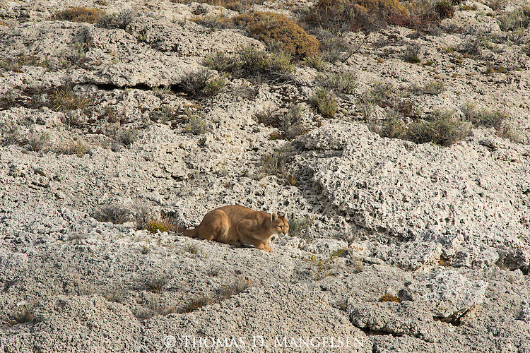 A Puma crouches on the rocky terrain in Patagonia, Chile.