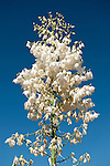 Vasquez Rocks, Agua Dulce, California; blooming white yucca cactus flowers against a deep blue sky