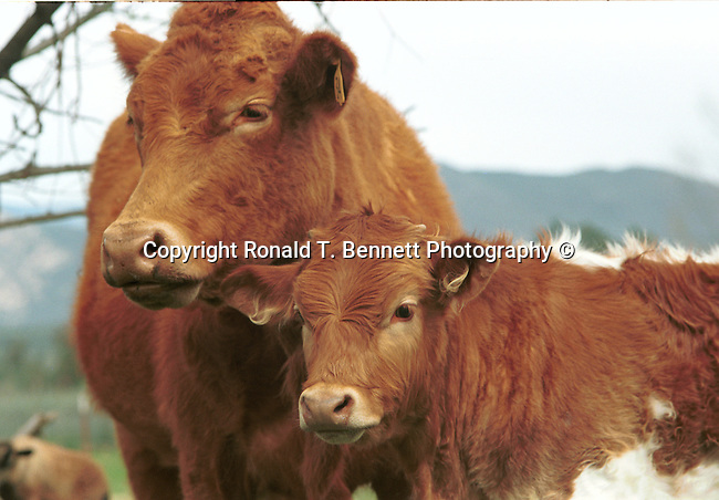 Cow and calf Maryland, Old Line State, Free State, Fine Art Photography by Ron Bennett, Fine Art, Fine Art photography, Art Photography, Copyright RonBennettPhotography.com ©