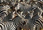 Grant's zebra mass migration, Maasai Mara National Reserve, Kenya