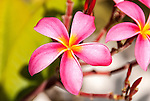A close-up photo of a vibrant pink frangipani flower in Kiritimati, Kiribati.