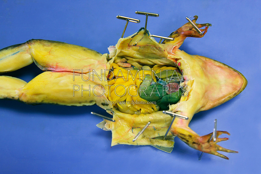 FROG DISSECTION<br /> (4 of 4)<br /> An incision is made on the ventral side<br /> After the incision is made along the abdominal muscle, the organs are exposed for study. The sternum has also been cut. The heart, liver, small intestine and fat bodies are exposed. The frog is a preserved, dye-injected specimen.