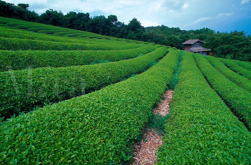 Field of tea plants on hillside, Japan