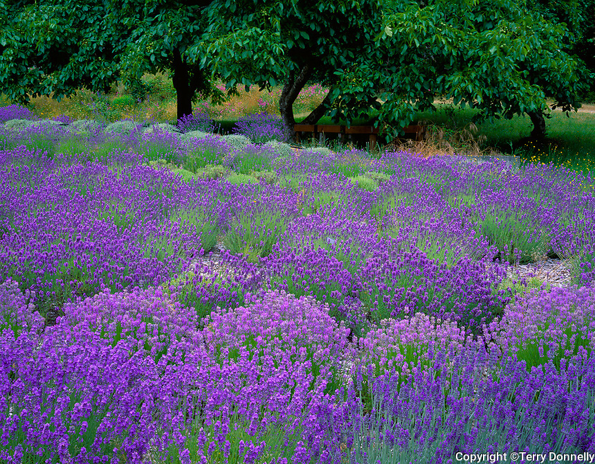 Vashon Island, WA<br /> Mounded rows of lavender (Lavendula vera) in a cultivated field with walnut trees in the distance