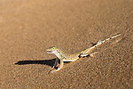 Shovel-snouted lizard (Meroles anchietae), Namib Desert, Namibia, April 2013