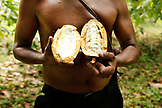 BELIZE, Punta Gorda, Village of San Pedro Colombia, farmer Eladio Pop holds a Cacao seed pod at Agouti Cacao Farm