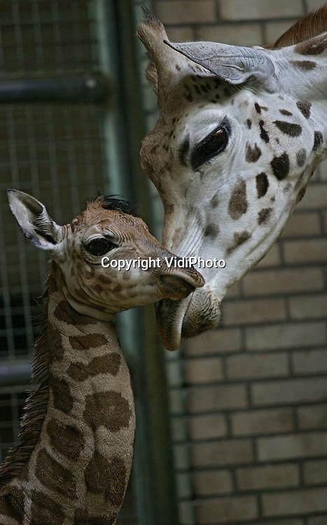 Foto: VidiPhoto..RHENEN - Ouwehands Dierenpark heeft een wonderjong. Totaal onverwacht is dinsdagmorgen in de Rhenense dierentuin een jonge giraffe geboren. Een wonder, want Ouwehands heeft al ruim een jaar geen hengst meer. Het vermoeden bestaat dat de bejaarde en kreupele Eric, die vorig jaar april overleed, kort voor zijn dood toch nog moeder Majanga heeft weten te bevruchten. Omdat er op dit moment geen hengsten meer zijn in Ouwehands is dit voorlopig het laatste giraffejong in het dierenpark.