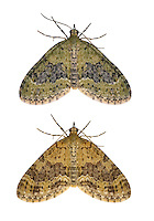 70.200 (1883)<br /> Yellow-barred Brindle - Acasis viretata