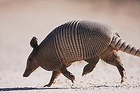 Nine-banded Armadillo (Dasypus novemcinctus), adult walking, Starr County, Rio Grande Valley, Texas, USA