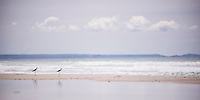 Birds at Rarawa Beach, a popular and beautiful white sand beach in Northland Region, North Island, New Zealand