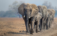 A herd of African elephants ( Loxodonta africana ) walking in line. South Luangwa National Park, Zambia.