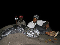 local people watching and helping a nesting leatherback sea turtle, Dermochelys coriacea, Dominica, West Indies, Caribbean, Atlantic