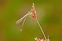 338560001 a wild teneral female seepage dancer damselfly argia bipunctulata in boykiin springs jasper county texas united states