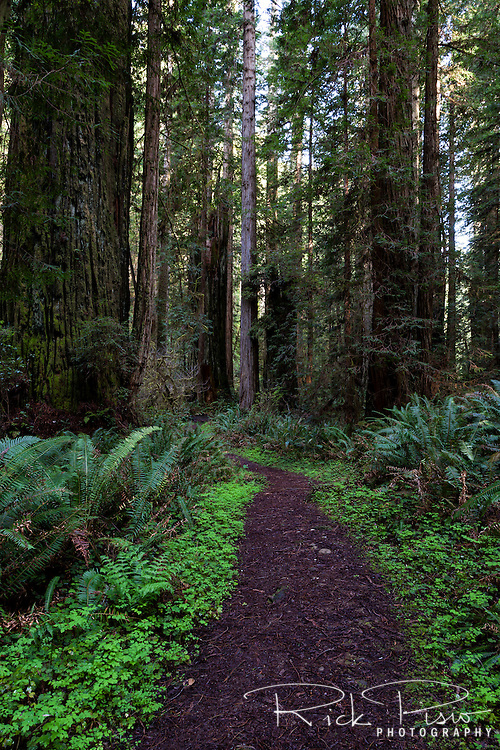 A path winds its way through a redwood grove at Prairie Creek Redwoods State Park in Northern California near the town of Orick