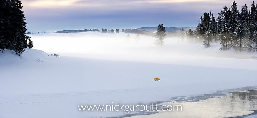 Red Fox (Vulpes vulpes) listening for / hunting rodents. Snow covered banks of the frozen Yellowstone River with the Hayden Valley behind. Yellowstone National Park, Wyoming, USA.(digitally stitched image)