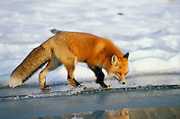 Red fox (Vulpes vulpes) explores along edge of frozen lake.  Winter.