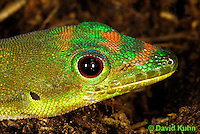 1001-0804  Gold Dust Day Gecko, Phelsuma laticauda © David Kuhn/Dwight Kuhn Photography.