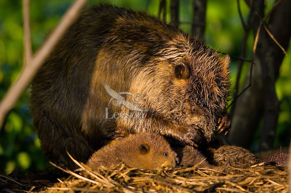 Adult beaver grooming while beaver kits huddle around.  Southern swamp.