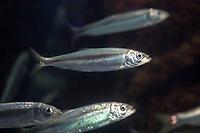 Hering, Heringe, Atlantischer Hering, Clupea harengus, Atlantic herring, herring, herrings, digby, mattie, slid, yawling, sea herring, Le hareng