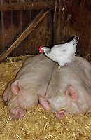 Two Middle White sows lying in straw with hen.